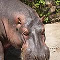 Hippo Hair 1 by Marilyn Hunt