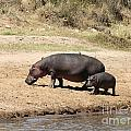 Hippo Mum And Calf by Liz Leyden