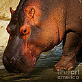 Hippo On The Waterfront by Nick  Biemans