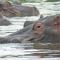 Hippopotamus In Kenya by Tony Murtagh