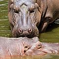 Hippopotamus In Water by Artur Bogacki