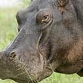 Hippopotamus Okavango Delta Botswana by Matthias Breiter