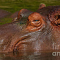 Hippopotamus With Its Head Just Above Water by Nick  Biemans