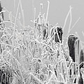 Hoar Frost On Grass With Fence Posts by Sharon Talson