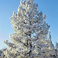 Hoar Frost Ponderos Pine Tree, Sundance by Panoramic Images