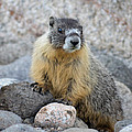 Hoary Marmot by Linda Rich