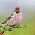 Hoary Redpoll by Ken Archer