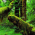 Hoh Rainforest by Ingrid Smith-Johnsen