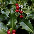 Holiday Holly by Wes and Dotty Weber