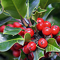 Holly Berries 2 by Sharon Talson