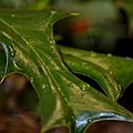 Holly Leaf Abstract by Maria Urso