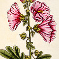 Hollyhocks by Elizabeth Blackwell