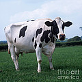 Holstein by Nigel Cattlin
