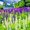 Holy Lupines by Greg Fortier