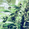 Home Grown Cannabis Plants. by Shay Fogelman