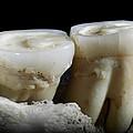 Homo Heidelbergensis Teeth by Science Photo Library