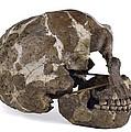 Homo Neanderthalensis Cranium (tabun 1) by Science Photo Library