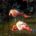 Homosassa Springs Flamingos 5 by Jeff Brunton