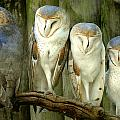 Homosassa Springs Snowy Owls 2 by Jeff Brunton
