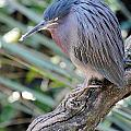 Homosassa Springs Waterfowl 10 by Jeff Brunton