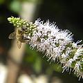 Honey Bee 3 by Eric Johansen