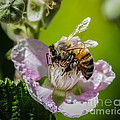 Honey Bee And Blackberry by Mitch Shindelbower