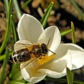 Honey Bee And Crocus by Chris Berry