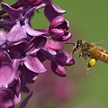 Honey Bee And Lilac by James Peterson