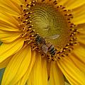 Honey Bee Close Up On Edge Of Sunfower...  # by Rob Luzier