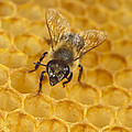 Honey Bee Colony On Honeycomb by Konrad Wothe