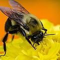 Honey Bee by Dan Braam