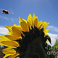 Honey Bee In Flight. by Cindy Daly