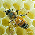 Honey Bee In Hive by Millard H. Sharp