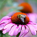 Honey Bee On A Pink Daisy by Mary Koval