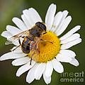 Honey Bee On Daisy by Brandon Alms