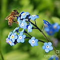 Honey Bee On Forget-me-not Flowers by Marv Vandehey