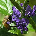 Honey Bee On Purple Flower by Mary Deal