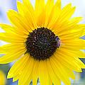 Honey Bee On Wildflower by Walter Herrit