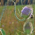 Honey Bee Picks Up Pollen by John Lan