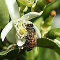 Honey Bee Pollinating Orange Blossom by Robert Hamm