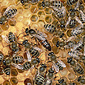 Honey Bee Queen And Colony On Honeycomb by Konrad Wothe