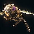 Honey Bee, Sem by Science Photo Library