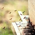 Honey Bees by Elaine Burlew