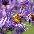 Honeybee And Aster by Lucinda V VanVleck
