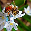 Honeybee And Squill by Chris Berry