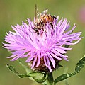 Honeybee At Work by Lucinda VanVleck