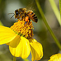 Honeybee Feasting On Nectar Of Yellow Flower by Michael Moriarty