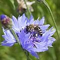 Honeybee In Bachelor's Button by Lucinda V VanVleck