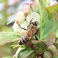 Honeybee In Blueberry Blossoms by Lucinda VanVleck