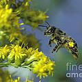Honeybee In Flight by ER Degginger